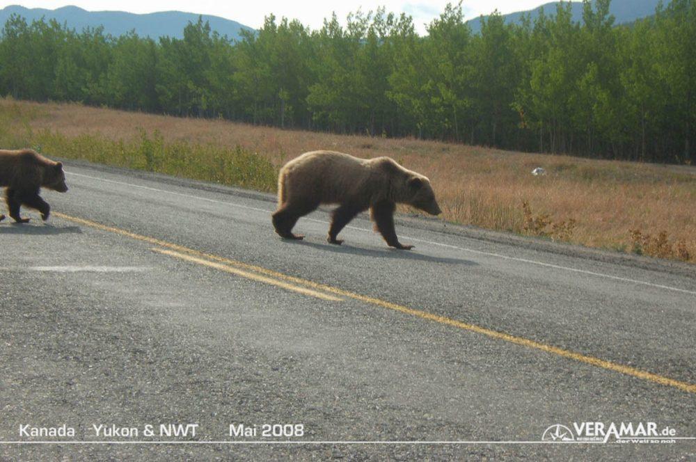 Yukon Bären
